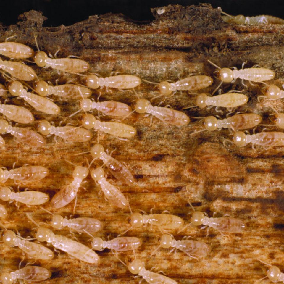 RS3033_Termite_small-scr